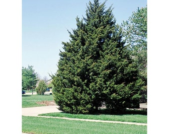 "Eastern Red Cedar Tree, 6 Potted Plants in 2.5"" Pot, Hardy, Evergreen, Fragrant, Drought Resistant, Fast Growing, Wildlife, Conifer"