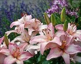 Pink Asiatic lily live plant , qt pot, cottage, pink, pink lily, lillies, cottage garden, cutting, fragrant, decorative, live plant, plant