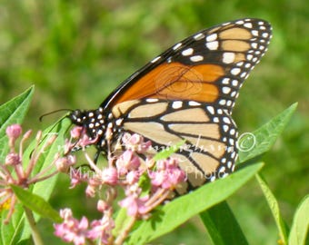 Live Butterfly Insect Monarch Butterfly Fine Art Nature Photography Print FREE Domestic SHIPPING