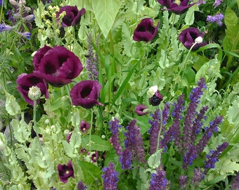 Heirloom Poppy and Salvia Flower Seed Mix, Magenta Poppy Seeds, Blue Salvia Seeds, Rare Flower Seeds, Wildflowers, *FREE SHIPPING IN U.S.*