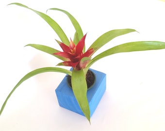 Red Flowering Guzmania Bromeliad in Blue Wooden Planter  , Home Decor , Desk Plant