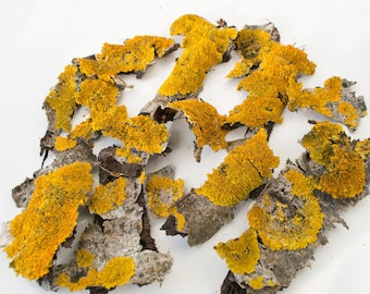 Yellow lichen on the bark, terrarium, natural material.