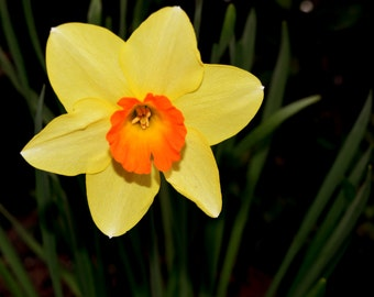 Daffodil, flower, nature, TASMANIAN PHOTOGRAPHY