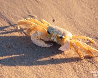 Grumpy Crab: WALL ART Fine Art Photography North Carolina Outer Ghost Crab Banks Coastal Coast Beach Purple Pink Soft Color Nautical