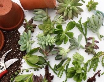 20 Succulent Cuttings
