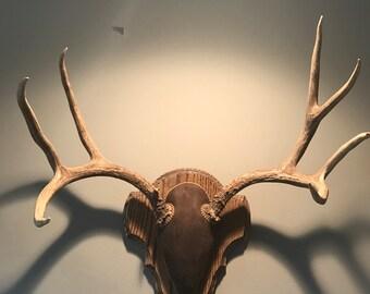 Deer Antler Trophy Taxidermy Mounted