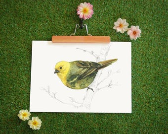 New Zealand native bird Mohua (or Yellowhead) illustrated Large print from original watercolor and ink painting artwork, Wild wall art