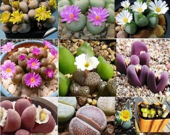 20 Lithops Flowering Stones Seeds Living Stones Seeds Mix Indoor Pot Plant