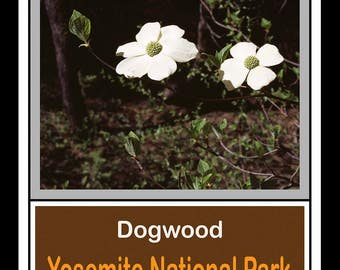 Dogwood -- Yosemite National Park