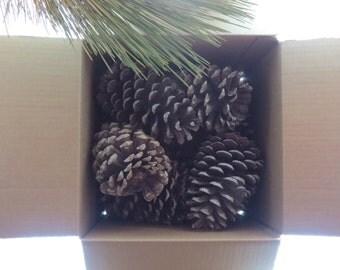 "Nine 5- 7"" Bulk Pine Cones, Giant Pine Cones, Jumbo Pine Cones, Wholesale Pine Cones, Pine Cone Decor, Pine Cone Decoration, Large Pine Cone"
