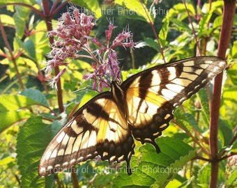 """Butterfly Framed Photo, Tiger Swallowtail Butterfly Framed Photograph, 8x8"""""""