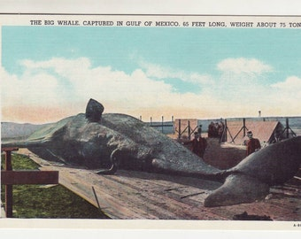 Big Whale Captured in Gulf of Mexico Vintage Postcard