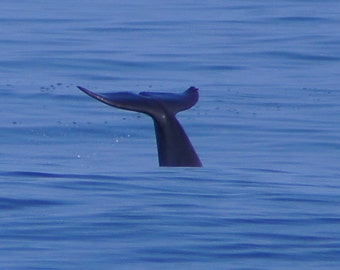 OBX Dolphin Tails ~ Dolphin Tales