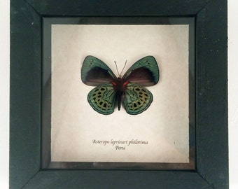 Real butterfly framed - Asterope lepriuri philotima
