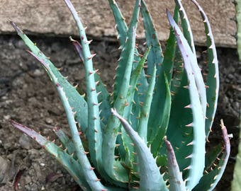 Beautiful Blue Aloe Vera Succulent
