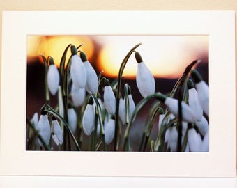Mounted Photograph of Snowdrops in the Sunrise