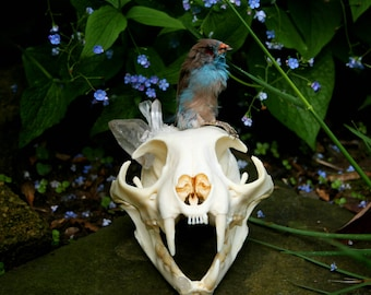 Real Quartz Bobcat Skull with Mummified Bird
