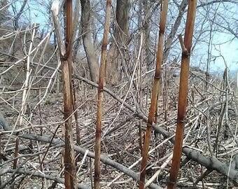 Japanese Knotweed Root Tincture