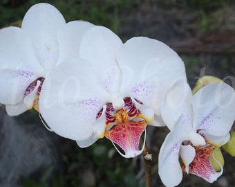 White Orchids Photograph, Instant Download, Fine Art Photography, Stock photo
