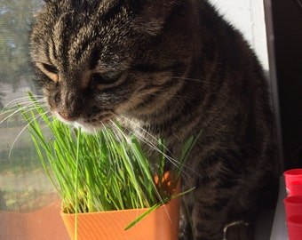 Cat Grass, Organic Oat Grass Seed, Rich Soil, Colorful Pots