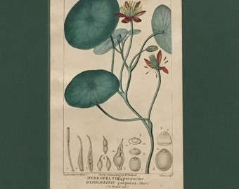 Antique Botanical Print of Frogleaf - Matted - Ready to Frame 8 x 10 - Hydropeltis purpurea - 1829 Rare Hand-coloured Print