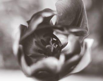 tulip photo flower photography, black and white home decor photograph, nature art print spring decor tulips botanical macro close up zen art