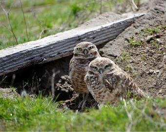 Wild Raptor Photos - Burrowing Owl Photo - Owl Photos - Burrowing Owl Pictures - Pair of Burrowing Owls Photo - Birds of Prey Photos