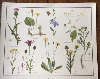 VINTAGE 1930's School Poster DAISY Family 2 Flora Educational Print Nature Study Wildflowers Flowers