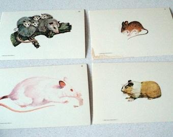 4 Vintage 1960s Flash Cards Of Mammals Opossum Mouse Rat Guinea Pig