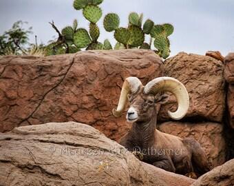 Bighorn sheep, desert wildlife, bighorns, Arizona Desert Museum, bighorn ram, Tucson AZ, 18 x 24, southwestern, FastWinn Photography