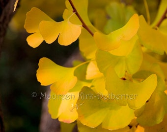 Ginkgo Biloba tree, Ginkgo leaves, yellow leaves, gold leaves, ancient tree, fall colors, fan shaped leaf, 16 x 20, FastWinn Photography, CA