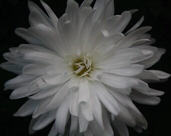 White Chrysanthemum Fine Art Photo