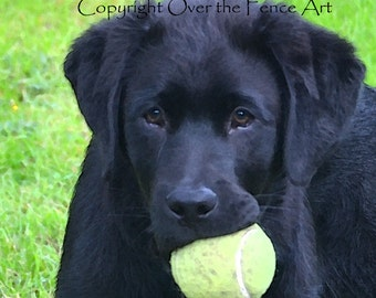 Black Labrador Puppy with Tennis Ball  Fine Art Photo Greeting Card Black Lab Card  print