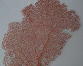 "11"" x 10.8"" Pacifigorgia Red  Sea Fan Seashells Reef Coral"