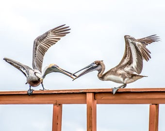 Pelicans - Fine Art Photo, Wall Decor, Pelicans, Birds, Florida Pelicans
