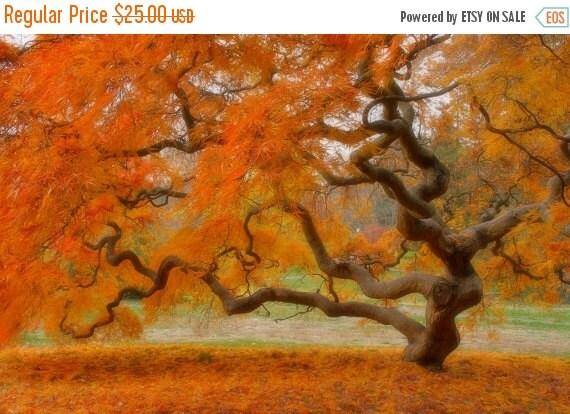 SALE 20% OFF Japanese Maple Tree in Autumn, Landscape Photograph, Fall Foliage, Nature, Tree of Life, Orange, Art Print, Zen, Woodland, Old