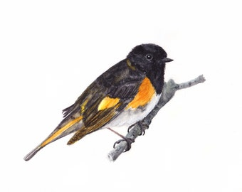American Redstart Print of Watercolor Painting, animal,bird art, wildlife,nature,bird lover,warbler,  berry, robin, made in ohio,painting