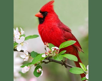 Northern cardinal on  apple blossoms