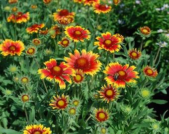 Blanket Gaillardia Flower Seeds - 30 seeds - LOW Shipping