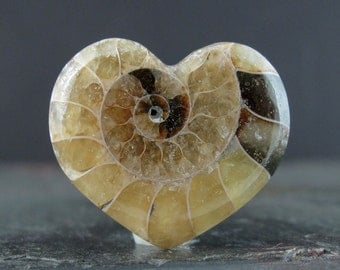 Heart shape Fossil Ammonite, Flat back cabochon, jewelry making supplies S7542