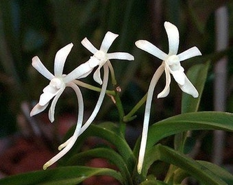 Neofinetia falcata Japanese Warrior Orchid, large seedling - FREE SHIPPING