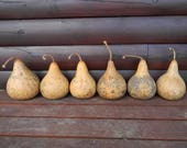 Set of Six Dried Kettle Gourds Craft Ready