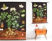 Potato botanical poster, botanic school pull down chart, floral school poster, botanical poster, botanical print Ref: 24