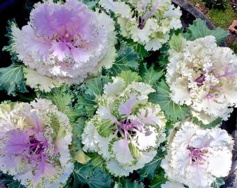 Spring photo card - Kale Flower photo card - Kale Flower photo - Cabbage Flower photo card - Any Occasion card - blank photo card