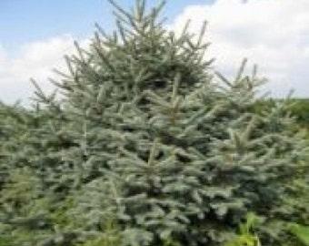 Meyer Spruce Tree Seeds, Picea meyeri - 25 Seeds