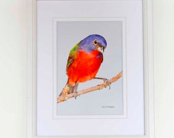 Framed Photograph - 8 x 10 - Male Painted Bunting
