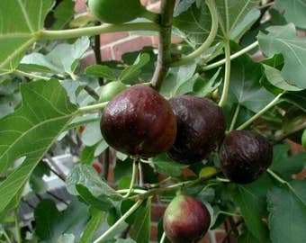 1 Organic Black Bethlehem Fig Plant Tree Rooted Cutting
