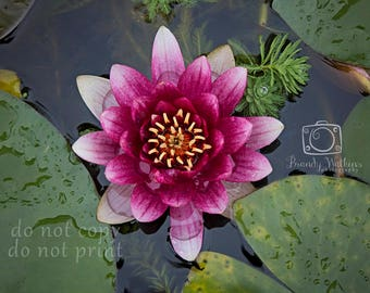 Water lily photograph, lily picture, photo of lily, pond lily picture, flower decor, flower wall art, purple flower, girls room decor, pink