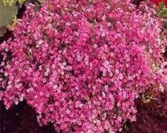 ABB)~CRIMSON BABY'S Breath-Seeds!~~~Gypsophila~~~Colorful Sprays for Arrangements!
