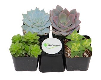 Assorted Succulent Plant Collection - live succulents, potted succulents, bulk succulents, wholesale succulents, succulent gifts.